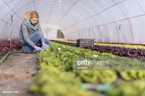 Lettuce picking : Stockfoto