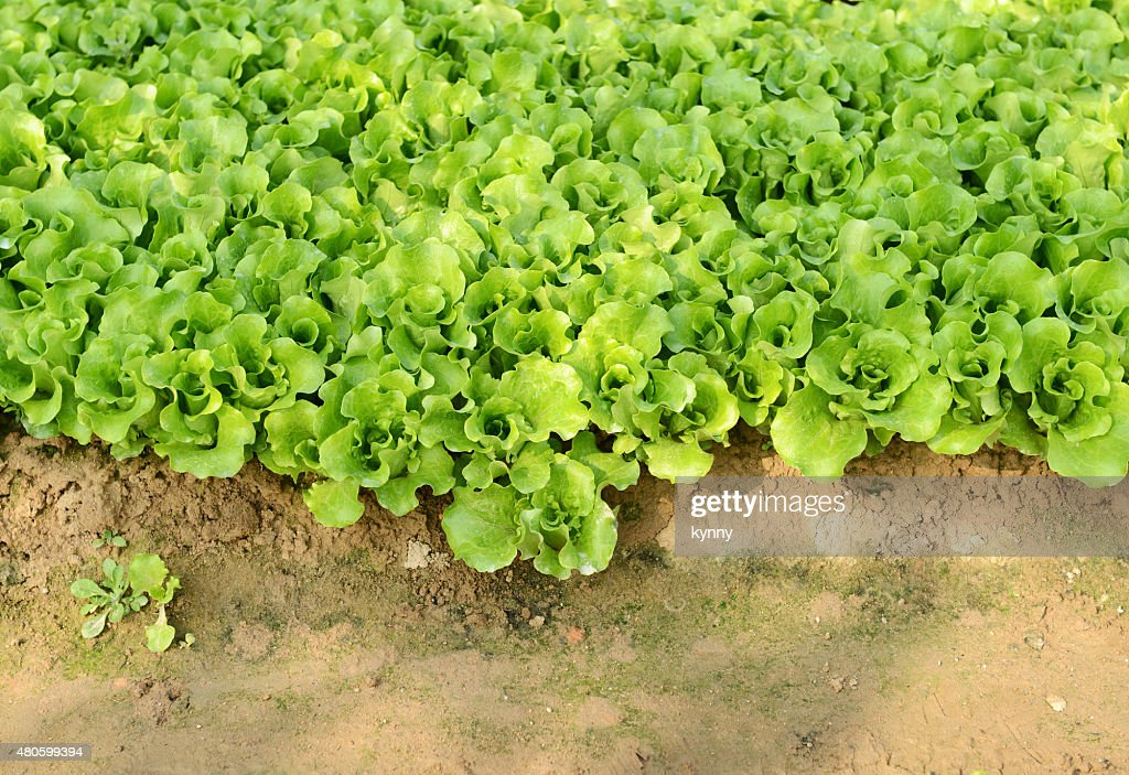 lettuce plant in field : Stock Photo