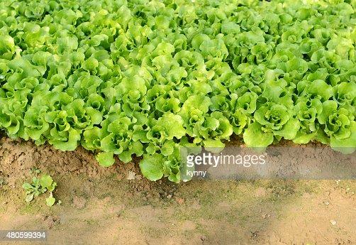 lettuce plant in field : Stock Photo