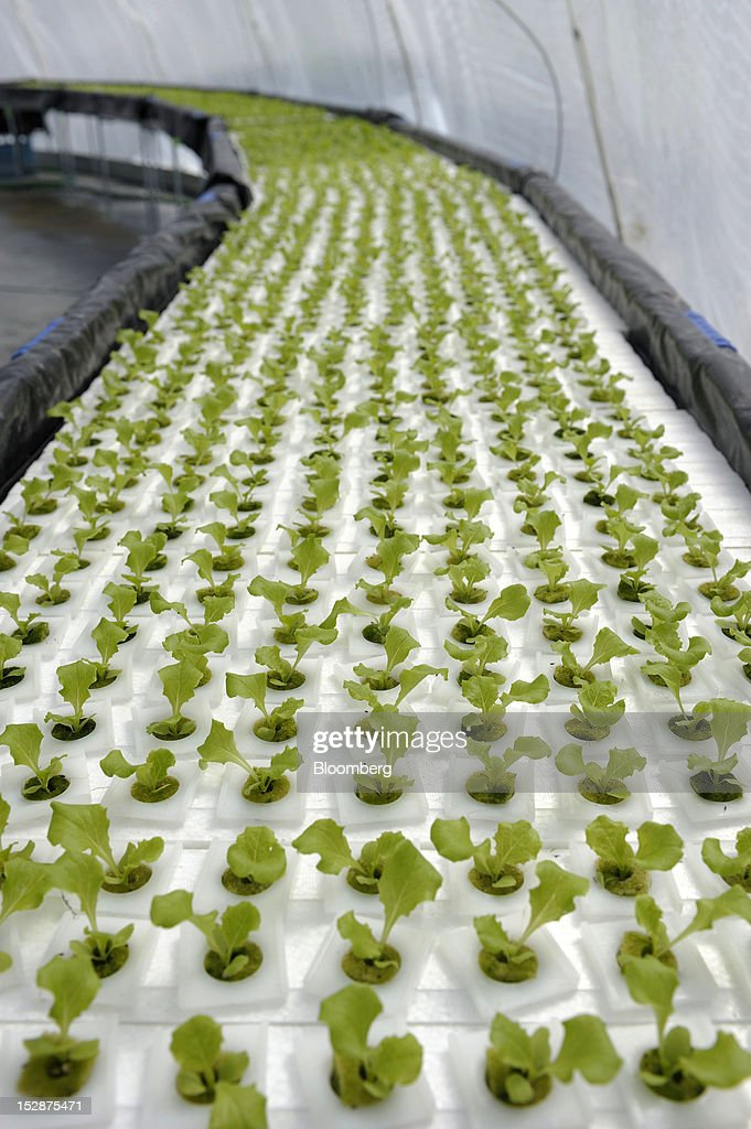 Lettuce seedlings grow in a vegetable plant at Granpa Farm Rikuzentakata, in Rikuzentakata City, Iwate Prefecture, Japan, on Wednesday, Sept. 26, 2012. A total of 8 dome-shaped hydroponic vegetable plants operated by Granpa Farm Rikuzentakata, a group farming subsidiary of Granpa Co. which was opened last month as part of the region's reconstruction efforts in an area damaged by the tsunami following the earthquake on March 11, 2011, produces 3,600 heads of lettuce a day. Photographer: Akio Kon/Bloomberg via Getty Images