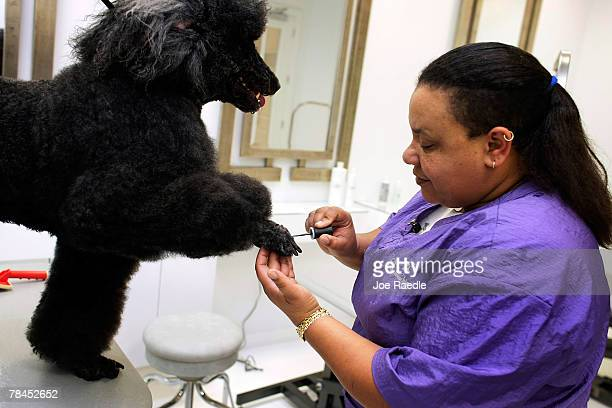 Letty Morales applies nail polish to the paws of Theo Brody at the Salon and Spa in the Chateau Poochie the luxury hotel for dogs and cats December...