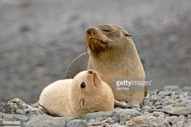 Leucistic fur seal pup and mother at Fortuna Bay on South Georgia Island Antarctica