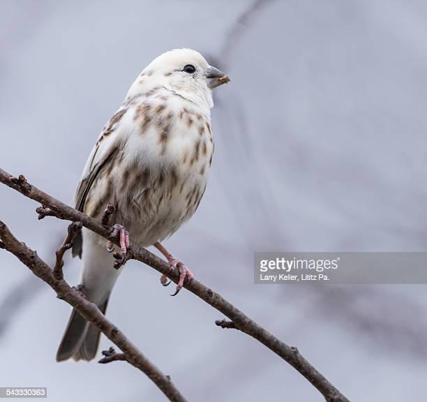 Leucistic Huse Finch
