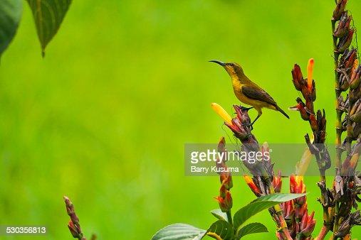 Leuser Wild Bird.