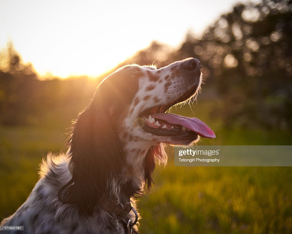 Lewellin Setter at Sunset
