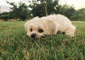 Um cachorro fêmea deitado sobre grama de parque com árvores ao fundo