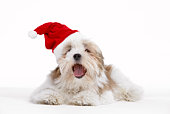Lhasa Apso Dog Wearing Santa Hat