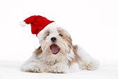 Lhasa Apso Dog Wearing Santa Hat