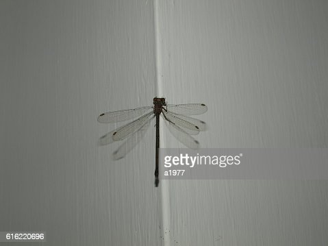 Libellula or dragonfly : Stock Photo