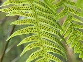 Licorice fern (Polypodium glycyrrhiza) fertile frond illuminated in early springtime