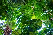 Licuala fan palm forest