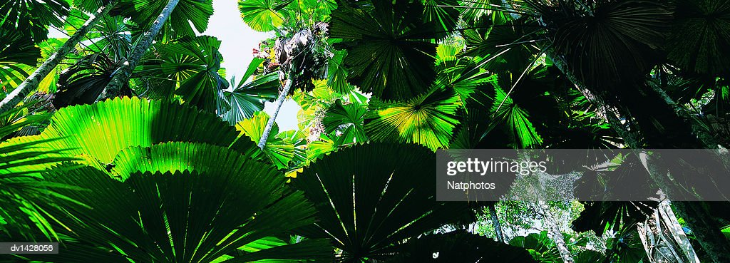 Licuala Palm Trees Growing in a Rainforest, Mission Beach, Wet Tropics, Queensland, Australia : Stock Photo