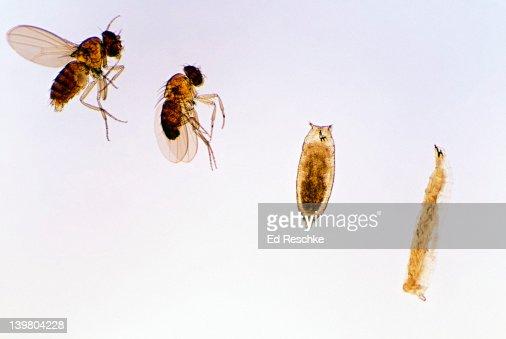 Fruit fly pupa - photo#40