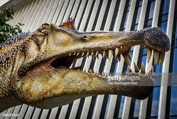 A life sized replica of the head is seen as National Geographic prepares to unveil the Spinosaurus exhibit on Friday on September 2014 in Washington...