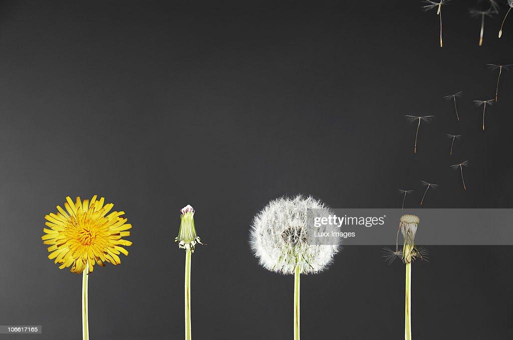 Life span of dandelions