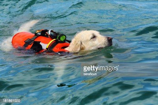 Lifeguard dog