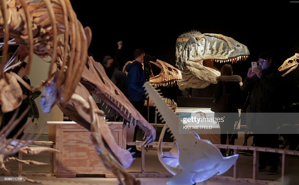 A life-sized skeleton model of a Spinosaurus (L) is on display along with other dinosaur models during a preview of the 'Spinosaurus' temporary exhibition at the Museum of Natural History (Museum fuer Naturkunde) in Berlin on February 8, 2016. The show running from February 9 to June 12, 2016 was developed by the National Geographic Society in collaboration with the University of Chicago and is complemented in Berlin with the Museum für Naturkundes own exhibits. / AFP / dpa / Kay Nietfeld / Germany OUT