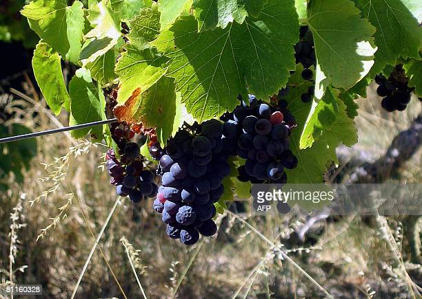 STORY 'LifestyleAustraliawineFEATURE' by Madeleine Coorey Grapes sit on a vine during harvest time in this photo taken in the McLaren Vale wine...