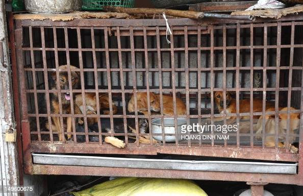 LifestyleVietnamsocietyanimalFEATURE by Tran Thi Minh Ha This photo taken on July 26 2012 shows dogs waiting to be slaughtered for meat at a dog...