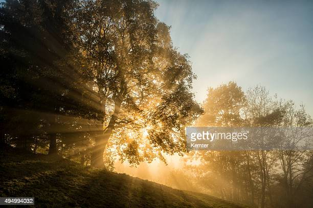 light beams through the trees in the wood