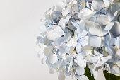 light blue Hydrangea macrophylla macro shot with white background