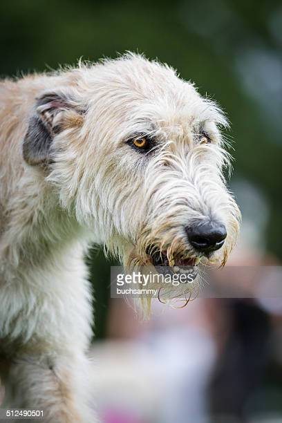 Light Brown Irish Wolfhound