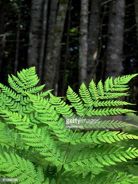 Light colored fern with blurred, dark forest background
