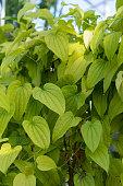 light green plant leaf of dioscorea basiclavicaulis pattern
