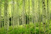 Light of birch woods