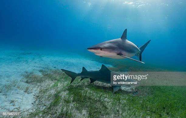 Light On The Reef Shark