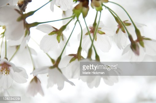 Light pink cherry blossoms, photographed in Memorial Park, Larchmont, NY in early spring. : Stock Photo
