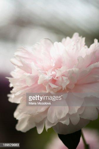 Light pink peony flower (Paeonia lactiflora) : Stock Photo