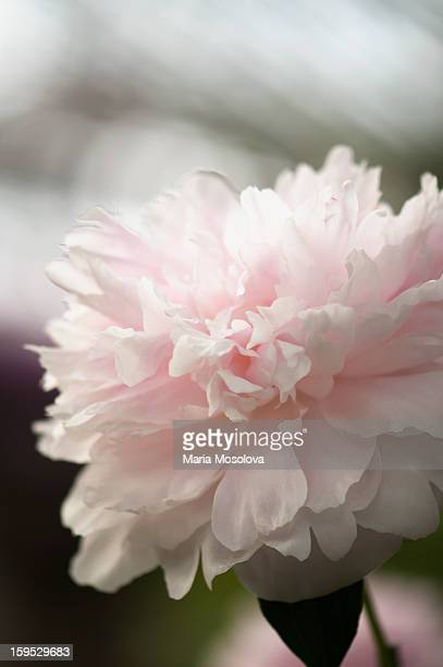 Light pink peony flower (Paeonia lactiflora)