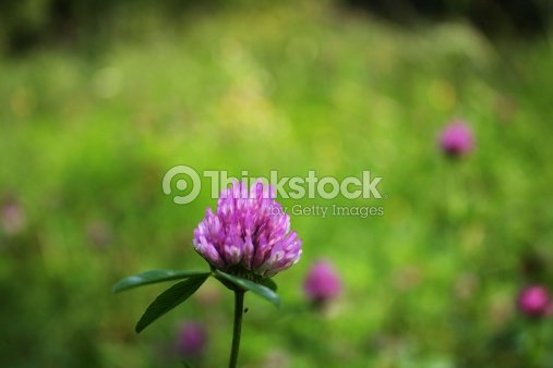 Light Purple Clover Flower With Midge Stock Photo Thinkstock