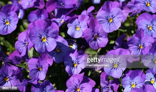 light purple violet pansies