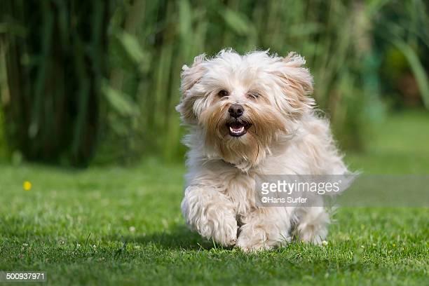 Boy Dog Names For A Havanese