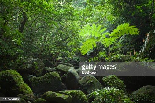 Light through rainforest canopy, Iriomote Island