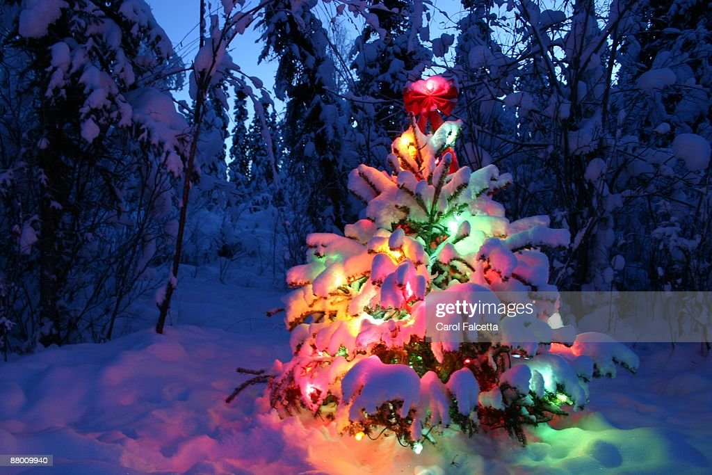 lighted snow covered christmas tree stock photo - Snow Covered Christmas Trees