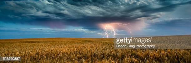 Lightning strike on a sunset over wheat crop