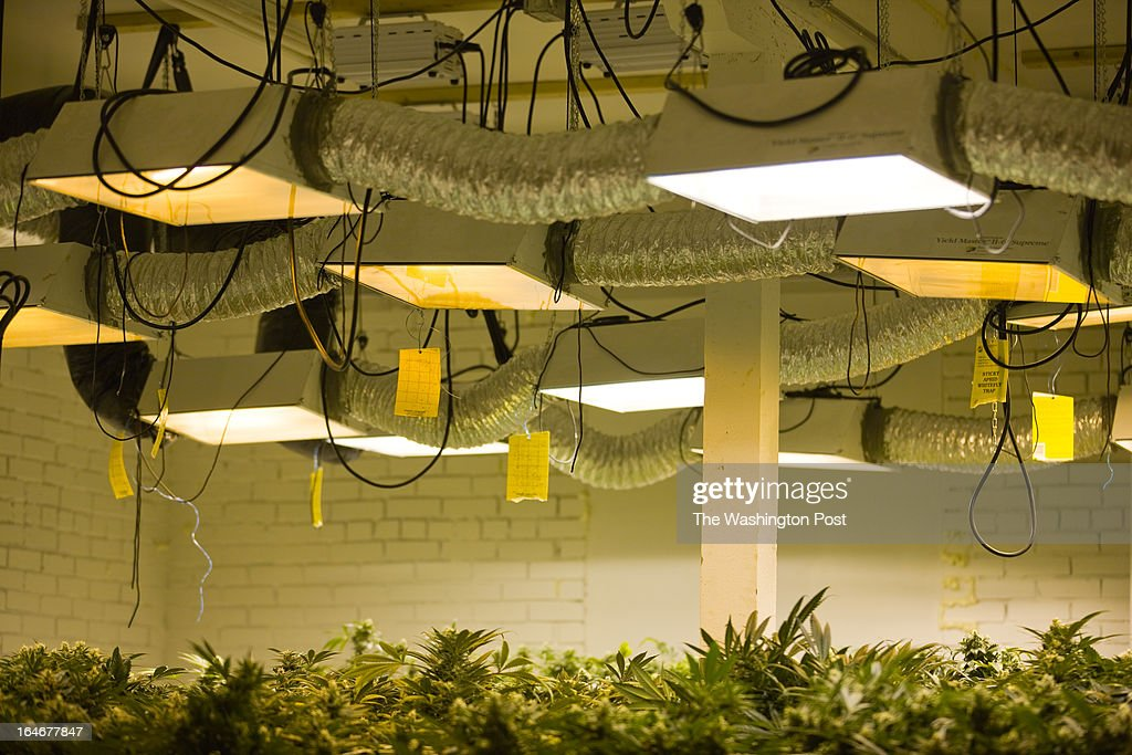 Lights hang above cannabis plants in a 'flower room' inside a medical cannabis cultivation facility in Denver, Colorado, U.S., on Monday, March 4, 2013. This is inside a warehouse in Denver, and is one of the facilities that Kristi Kelly, Co-Founder of Good Meds Network, operates.