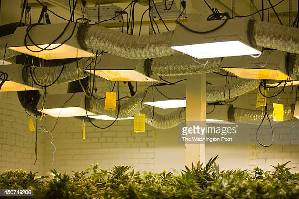 Lights hang above cannabis plants in a 'flower room' inside a medical cannabis cultivation facility in Denver Colorado US on Monday March 4 2013 This...