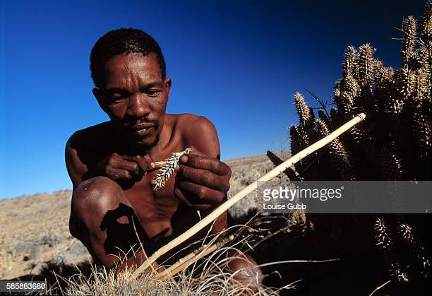 Like generations of San Bushmen hunters before him Elia Festus chews on a piece of the spiky Hoodia cactus to stave off hunger and thirst A British...