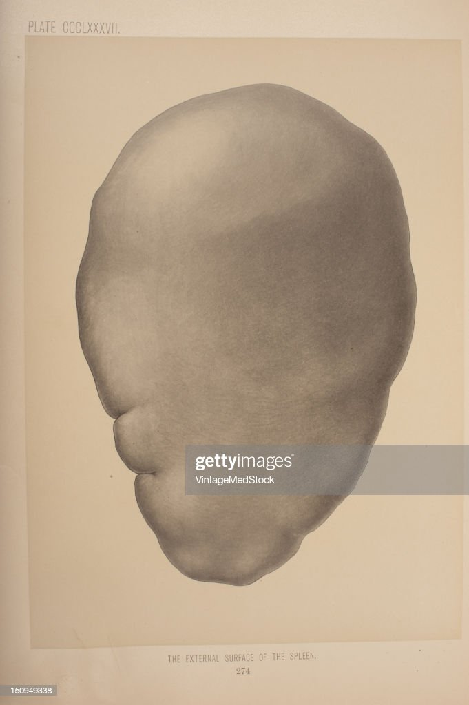 Like the thymus the spleen possesses only efferent lymphatic vessels 1903 From 'Surgical Anatomy The Treatise of the Human Anatomy and Its...