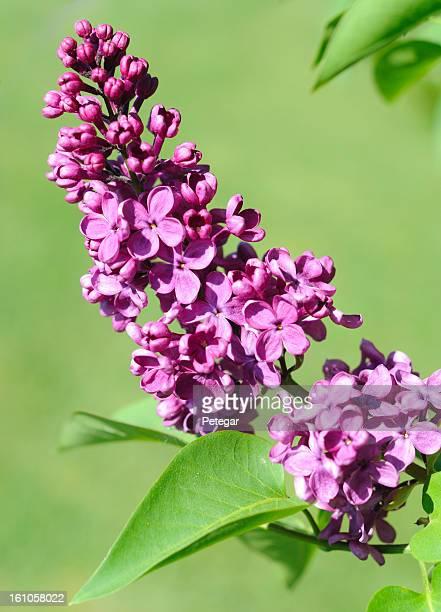 Flieder Blüte