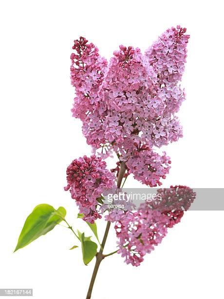 Lilac branch (syringa) auf weißem Hintergrund