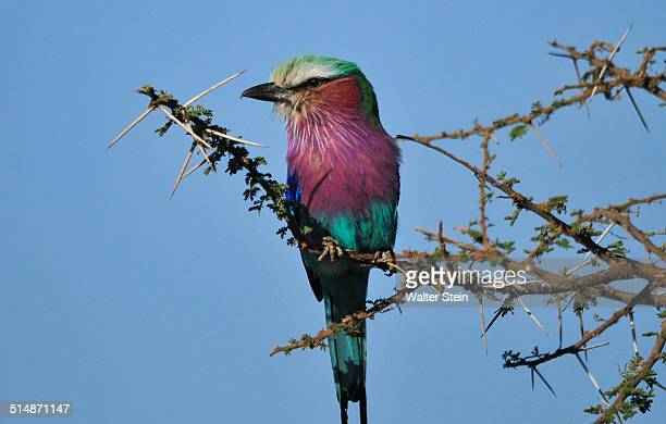 Lilac breasted Roller at Serengeti National Park