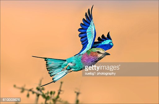 Lilac breasted roller in flight.(Flight into golden hour)