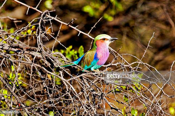 Lilac breasted roller perched on torny branches