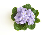 Lilac color curly saintpaulia african violet flower from above. Symbol of unaffectedness and faithfulness