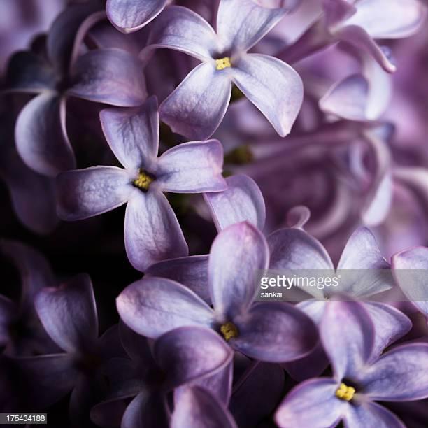 Lilac isoliert auf schwarzem Hintergrund
